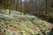 Snowdrop Valley, near Wheddon Cross, Exmoor National Park, Somerset