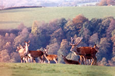 Red deer, Exmoor National Park